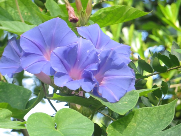 Morning-Glory (Heavenly Blue)