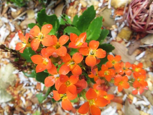 Kalanchoe Blossfeldiana Hybrids (Orange)